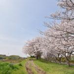 西側桜並木(周辺)